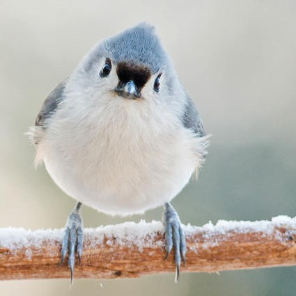 APA_2013_28627_227139_CatherineMcEntee_Tufted_Titmouse_KK-2